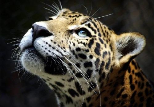 10 Datos del leopardo que te sorprenderán
