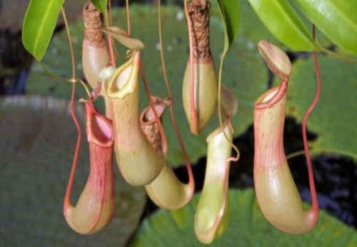 Si todas las plantas se alimentan de agua, sol y nutrientes del suelo, ¿por qué algunas se volvieron carnívoras?