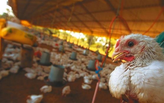 Bolivia: Rige control aéreo, fluvial y terrestre por influenza aviar